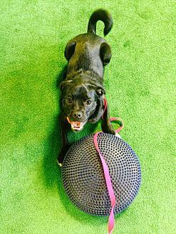 Pug/Spaniel (Unknown Type) Mix Dog for adoption in Edina, Minnesota - Brooke D151124