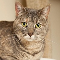 Domestic Shorthair Cat for adoption in Ft. Lauderdale, Florida - Paulina