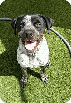 Pointer Mix Dog for adoption in Houston, Texas - Fritz