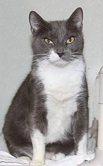 Domestic Shorthair Cat for adoption in New Bern, North Carolina - Mimi
