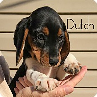 Adopt A Pet :: Dutch - House Springs, MO