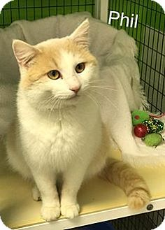 Domestic Shorthair Cat for adoption in Jasper, Indiana - Phil
