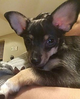 Dachshund/Chihuahua Mix Puppy for adoption in Mission Viejo, California - WENDY