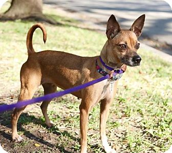 Basenji/Chihuahua Mix Dog for adoption in Houston, Texas - Twiggy