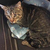 Domestic Shorthair Cat for adoption in Hopkinsville, Kentucky - HERMES