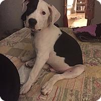 Adopt A Pet :: Porter - oklahoma city, OK
