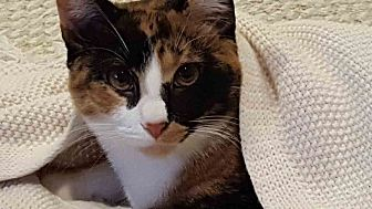 Domestic Shorthair Cat for adoption in Gaithersburg, Maryland - Scout