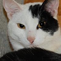 Adopt A Pet :: Velvet - Cuba, NY