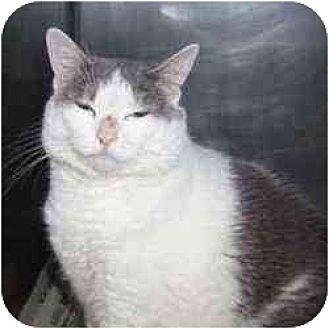 Domestic Shorthair Cat for adoption in Livonia, Michigan - Baby Girl