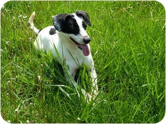 Rat Terrier Mix Dog for adoption in Waynetown, Indiana - Vicky