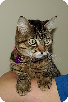 Domestic Shorthair Cat for adoption in Mission Viejo, California - Ivy