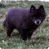 Adopt A Pet :: Pixie - Meridian, ID