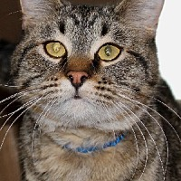Domestic Shorthair Cat for adoption in Savannah, Missouri - Jimmy