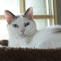 Adopt A Pet :: Deja Vue - Stafford, VA