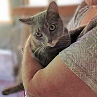American Shorthair Cat for adoption in Clifton Forge, Virginia - Sheba