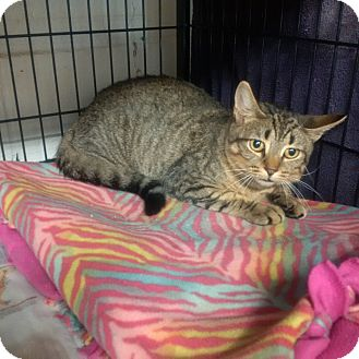 Domestic Shorthair Cat for adoption in North Kingstown, Rhode Island - Petey