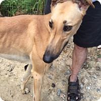 Adopt A Pet :: Dkc Snap Chat - Gerrardstown, WV