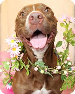 American Staffordshire Terrier Mix Dog for adoption in Tampa, Florida - Twinkie