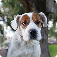 Adopt A Pet :: Amanda - San Diego, CA