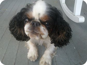 English Toy Spaniel Dog for adoption in Cumberland, Maryland - Faith