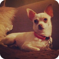 Chihuahua Dog for adoption in Shawnee Mission, Kansas - Pinkie Bella