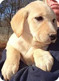 Labrador Retriever Mix Puppy for adoption in Patterson, New York - Shyloh