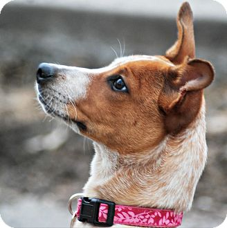 Australian Cattle Dog/Terrier (Unknown Type, Small) Mix Puppy for adoption in Delano, Minnesota - Abby