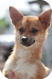 Chihuahua/Pomeranian Mix Dog for adoption in Russellville, Kentucky - Tod