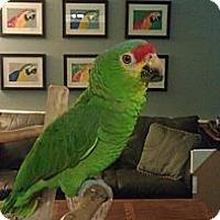 Adopt A Pet :: Paddy - Redlands, CA