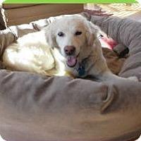 Adopt A Pet :: Porsche - Denver, CO