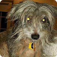 Adopt A Pet :: Zoey (New England) - Gilford, NH