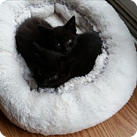 Adopt A Pet :: Norrin - Fairborn, OH