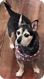 Yorkie, Yorkshire Terrier/Chihuahua Mix Dog for adoption in Red Lion, Pennsylvania - JAKE