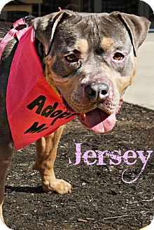 American Pit Bull Terrier Dog for adoption in Roanoke, Virginia - Jersey