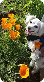 King Charles Spaniel/Poodle (Miniature) Mix Dog for adoption in San Francisco, California - Maggie - Foster or Adopt