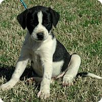 Adopt A Pet :: Macy - parissipany, NJ
