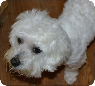 Maltese Or Bichon Mix Dogs To Rescue