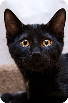 Domestic Shorthair Kitten for adoption in Irvine, California - Puddles