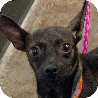 Chihuahua Mix Dog for adoption in Ithaca, New York - Garcia