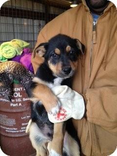 German Shepherd Dog Mix Puppy for adoption in Childress, Texas - Han