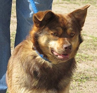 Australian Shepherd/Corgi Mix Dog for adoption in Greeley, Colorado - Harlie