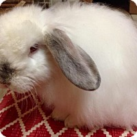 American Fuzzy Lop Mix for adoption in Los Angeles, California - William