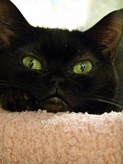 Domestic Shorthair Cat for adoption in Capshaw, Alabama - Minnie