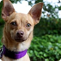 Chihuahua Mix Dog for adoption in Bellevue, Washington - Elmo