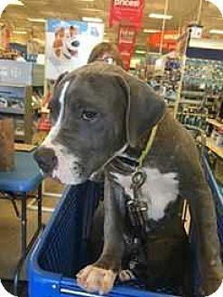 Pit Bull Terrier Mix Puppy for adoption in Broken Arrow, Oklahoma - Spot