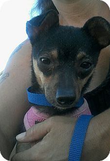 Chihuahua/Miniature Poodle Mix Dog for adoption in Apache Junction, Arizona - Mareda