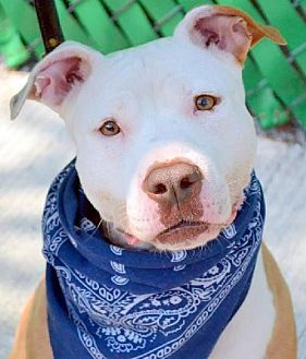 American Staffordshire Terrier/American Pit Bull Terrier Mix Dog for adoption in Staten Island, New York - Ginger Bean *URGT  IMMED FOSTER HOME NEEDED*