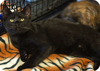Domestic Shorthair Kitten for adoption in Charlotte, North Carolina - A..  Ferguson