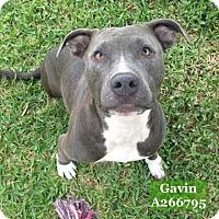Adopt A Pet :: GAVIN - Conroe, TX