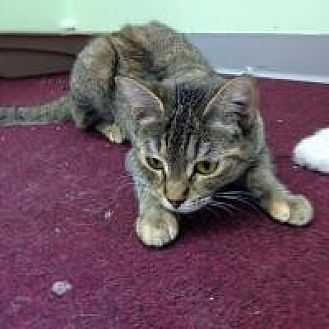 Domestic Mediumhair Cat for adoption in Port Richey, Florida - Shirley